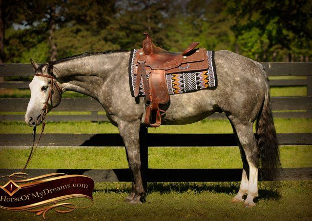 007-Berkley-Gray-Grey-AQHA-Quarter-Horse-Gelding-For-Sale