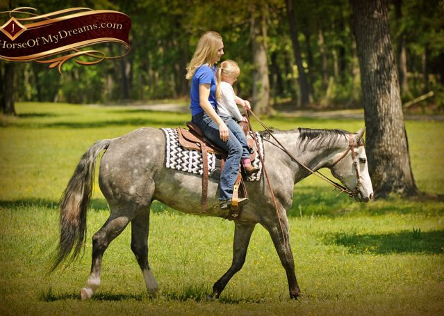014-Berkley-Gray-Grey-AQHA-Quarter-Horse-Gelding-For-Sale