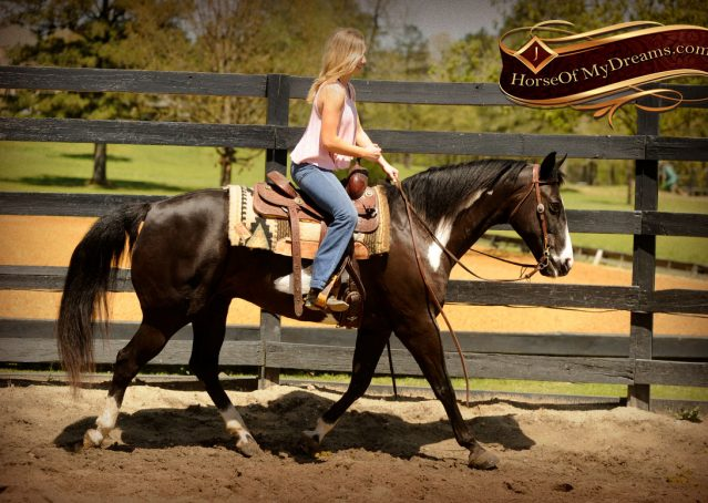 020-Domino-Black-White-Paint-Gelding-For-Sale