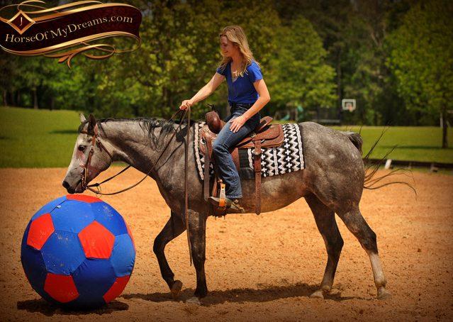 021-Berkley-Gray-Grey-AQHA-Quarter-Horse-Gelding-For-Sale