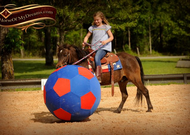 023-Punchy-Bay-Pony-Gelding-For-Sale-Kids-Bombproof