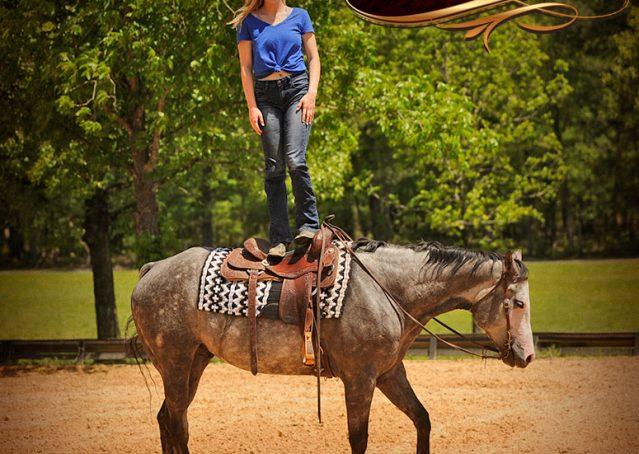 024-Berkley-Gray-Grey-AQHA-Quarter-Horse-Gelding-For-Sale