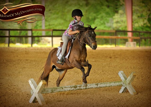 030-Punchy-Bay-Pony-Gelding-For-Sale-Kids-Bombproof