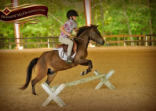 031-Punchy-Bay-Pony-Gelding-For-Sale-Kids-Bombproof