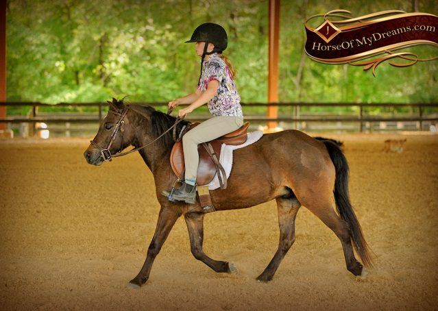 032-Punchy-Bay-Pony-Gelding-For-Sale-Kids-Bombproof