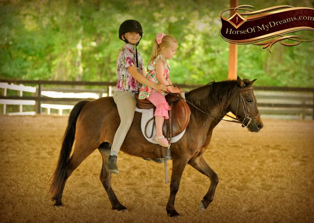 033-Punchy-Bay-Pony-Gelding-For-Sale-Kids-Bombproof