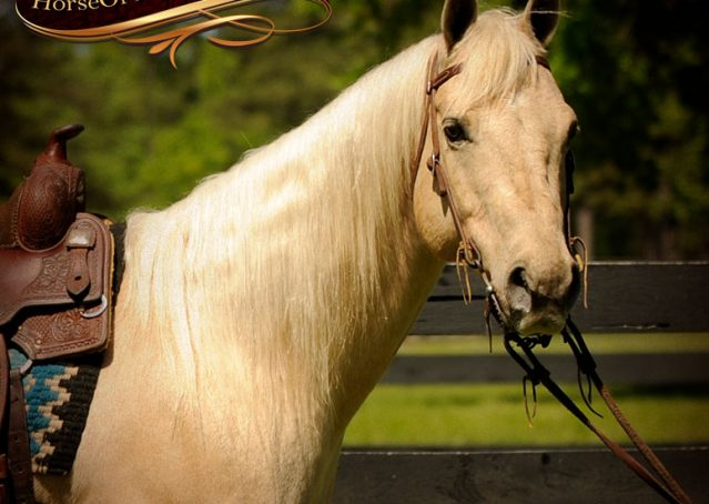 001-Apollo-Palomino-Bombproof-Family-Safe-Quarter-Horse-Gelding-For-Sale