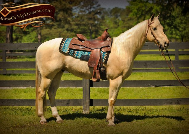 002-Apollo-Palomino-Bombproof-Family-Safe-Quarter-Horse-Gelding-For-Sale