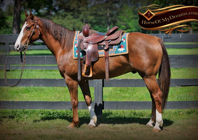 002-Ben-Chestnut-Quarter-Horse-Gelding-For-Sale