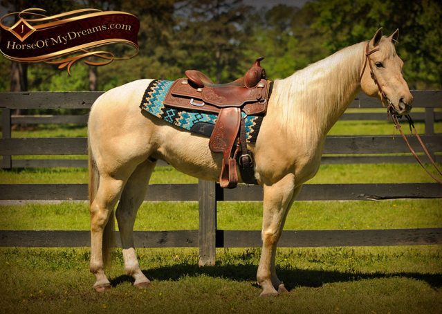 003-Apollo-Palomino-Bombproof-Family-Safe-Quarter-Horse-Gelding-For-Sale