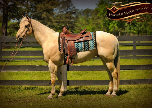 004-Apollo-Palomino-Bombproof-Family-Safe-Quarter-Horse-Gelding-For-Sale