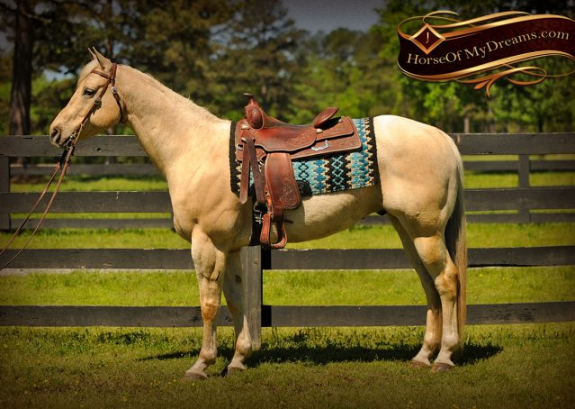 005-Apollo-Palomino-Bombproof-Family-Safe-Quarter-Horse-Gelding-For-Sale