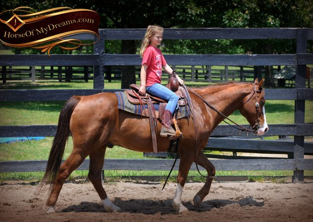 007-Ben-Chestnut-Quarter-Horse-Gelding-For-Sale