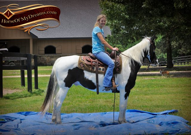 011-Chex-Black-Tobiano-Paint-Horse-Gelding-For-Sale