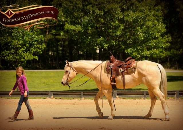 012-Apollo-Palomino-Bombproof-Family-Safe-Quarter-Horse-Gelding-For-Sale