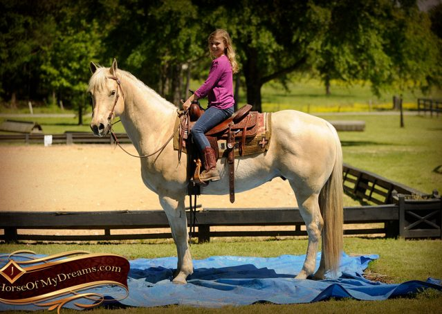 014-Apollo-Palomino-Bombproof-Family-Safe-Quarter-Horse-Gelding-For-Sale