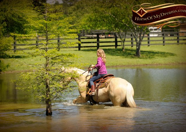 015-Apollo-Palomino-Bombproof-Family-Safe-Quarter-Horse-Gelding-For-Sale