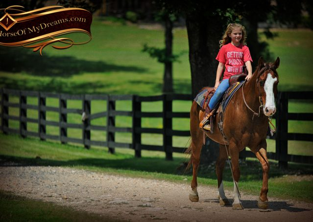 016-Ben-Chestnut-Quarter-Horse-Gelding-For-Sale