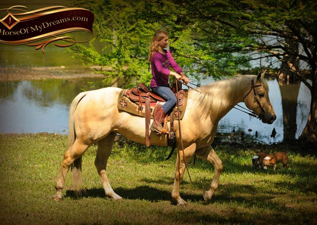 019-Apollo-Palomino-Bombproof-Family-Safe-Quarter-Horse-Gelding-For-Sale