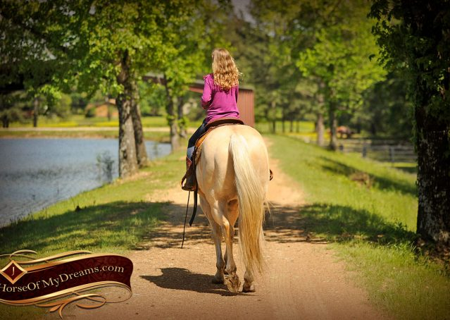 020-Apollo-Palomino-Bombproof-Family-Safe-Quarter-Horse-Gelding-For-Sale