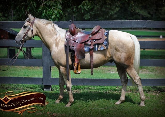 001-Sol-AQHA-Palomino-Gelding-Palo-Duro-Cat-For-Sale