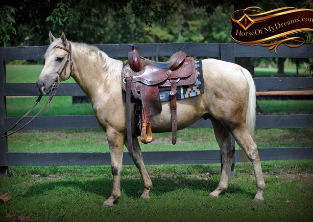 002-Sol-AQHA-Palomino-Gelding-Palo-Duro-Cat-For-Sale