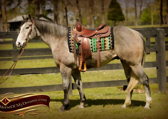 003-Bugsy-Grey-AQHA-Gelding-For-Sale