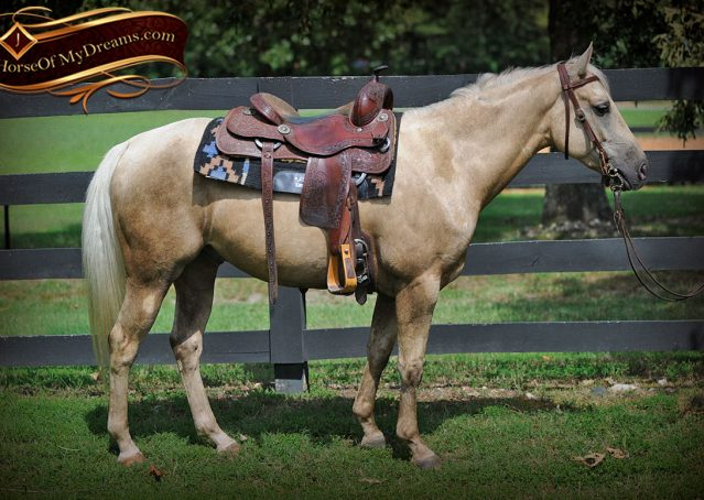 005-Sol-AQHA-Palomino-Gelding-Palo-Duro-Cat-For-Sale