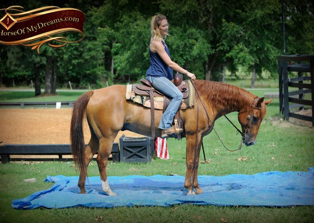 006-Timber-AQHA-Chestnut-Gelding-For-Sale