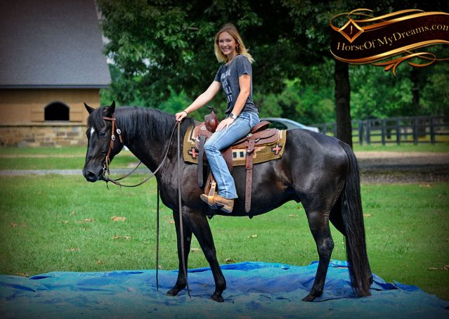 006-Winston-AQHA-Black-Quarter-Horse-gelding-for-sale