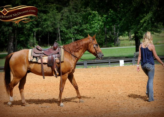 012-Timber-AQHA-Chestnut-Gelding-For-Sale