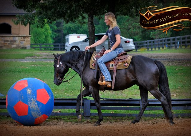 014-Winston-AQHA-Black-Quarter-Horse-gelding-for-sale