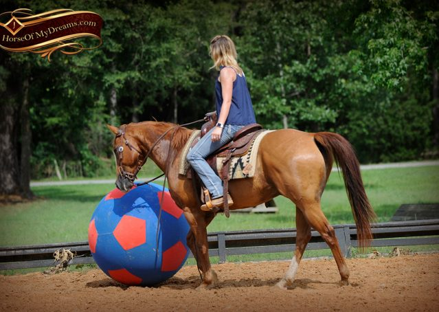 015-Timber-AQHA-Chestnut-Gelding-For-Sale