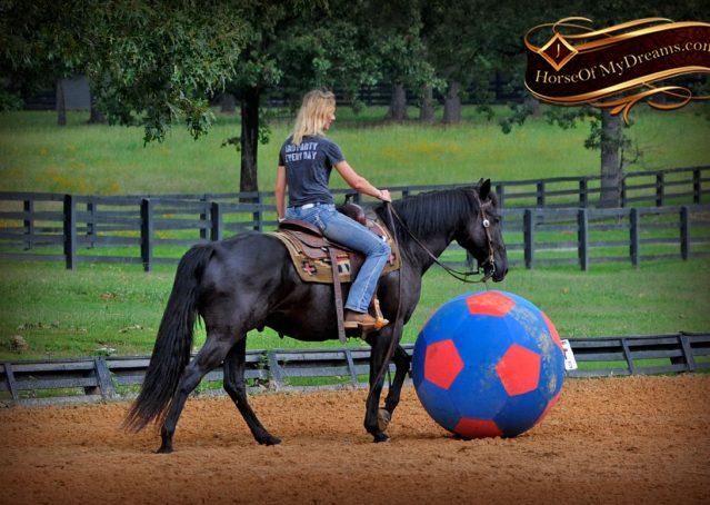 015-Winston-AQHA-Black-Quarter-Horse-gelding-for-sale