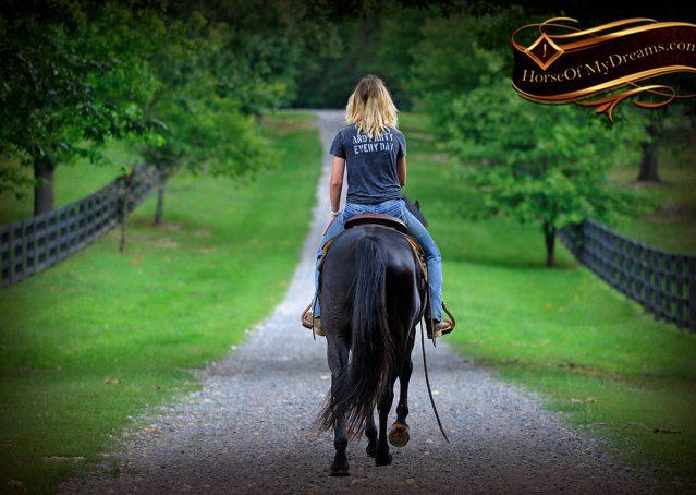 016-Winston-AQHA-Black-Quarter-Horse-gelding-for-sale