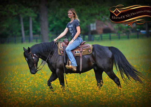 020-Winston-AQHA-Black-Quarter-Horse-gelding-for-sale