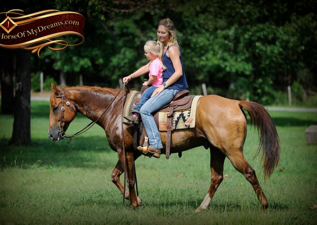 022-Timber-AQHA-Chestnut-Gelding-For-Sale