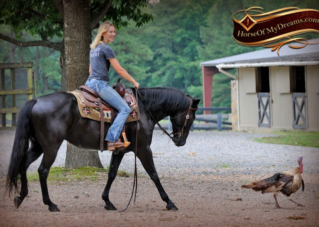 023-Winston-AQHA-Black-Quarter-Horse-gelding-for-sale