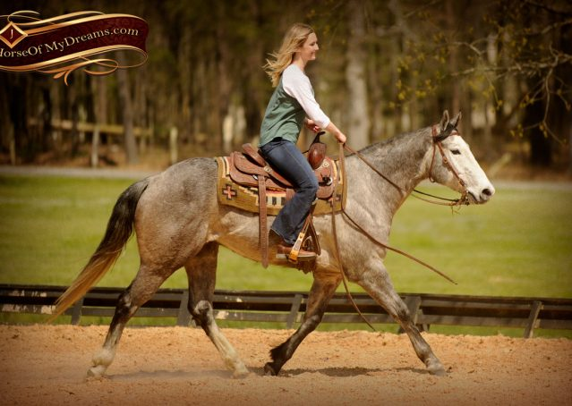 024-Bugsy-Grey-AQHA-Gelding-For-Sale