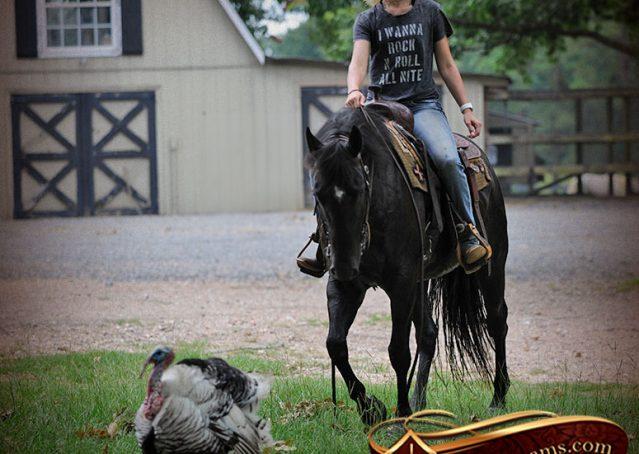 024-Winston-AQHA-Black-Quarter-Horse-gelding-for-sale