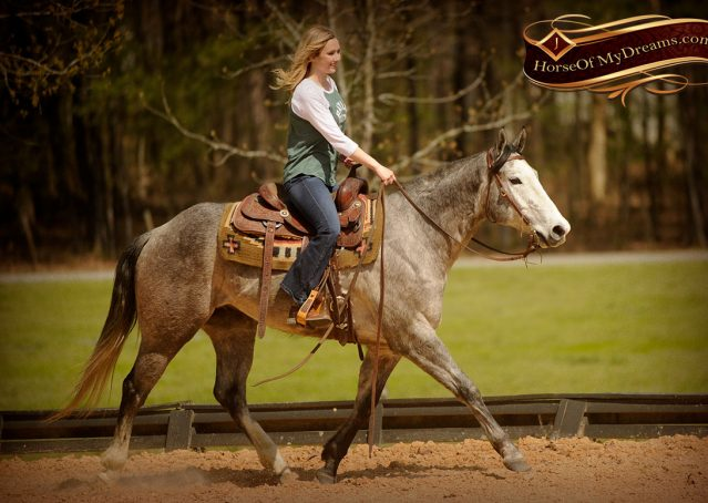 025-Bugsy-Grey-AQHA-Gelding-For-Sale
