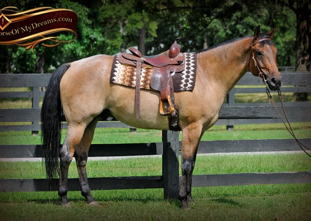 001-Chicago-AQHA-Dun-Roan-Gelding-For-Sale