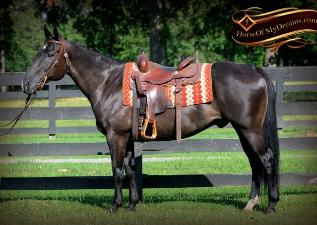 001-Espresso-Black-Quarter-Horse-Gelding-For-Sale