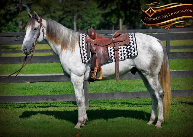 002-Berny-Gray-AQHA-Gelding-For-Sale