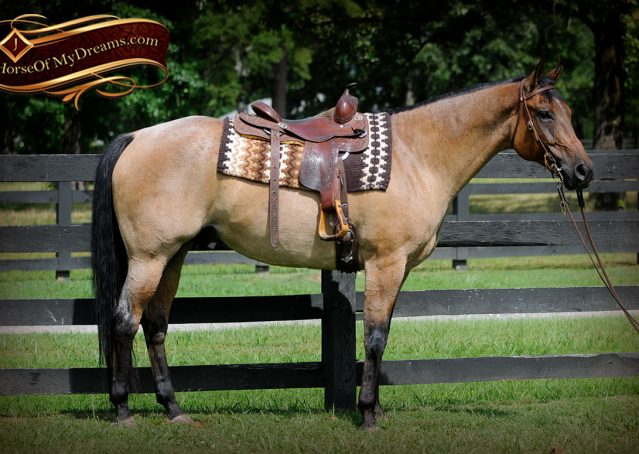 002-Chicago-AQHA-Dun-Roan-Gelding-For-Sale