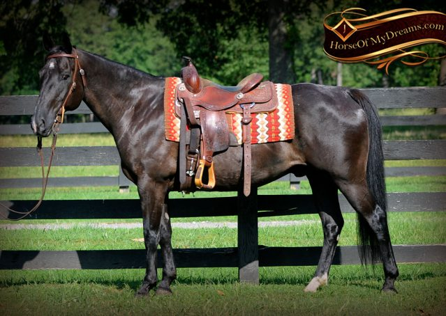 002-Espresso-Black-Quarter-Horse-Gelding-For-Sale