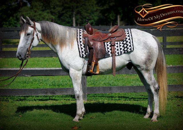 003-Berny-Gray-AQHA-Gelding-For-Sale
