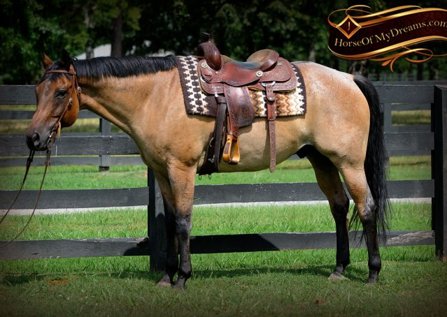 003-Chicago-AQHA-Dun-Roan-Gelding-For-Sale