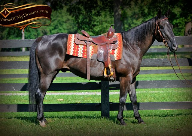 003-Espresso-Black-Quarter-Horse-Gelding-For-Sale