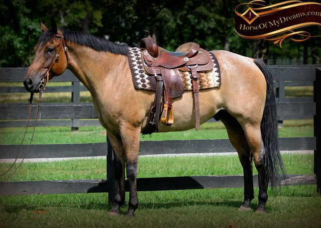 004-Chicago-AQHA-Dun-Roan-Gelding-For-Sale